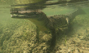 Cuban crocodile swimming